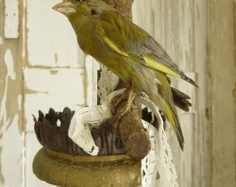 Beautiful old BIRD, real taxidermy, 50s, wall hanging....CHARMANT!