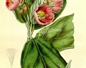 flowers-09934 - abutilum paeoniaeflorum Abutilon pink flowering vintage illustration graphics design old picture antique book image paper
