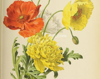 flowers-28247 - papaver croceum, ice poppy, red orange white yellow color flower print printable clipart bouquet high resolution picture jpg