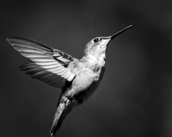 Black and White Wall Art, 8x8 Hummingbird Print, Nature Photography, 10x10 Prints, Fine Art Photograph, Bird Art, Black & White Room Decor