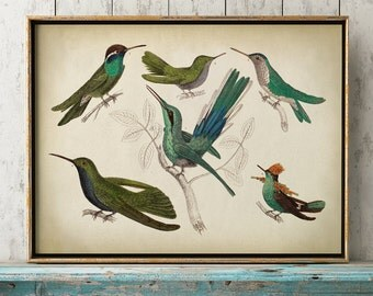 HUMMINGBIRD Bird Print, Hummingbird print, humming bird species illustration, hummingbirds chart, bird print, bird poster.