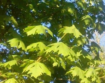 Big Leaf Maple Tree seedlings shade tree