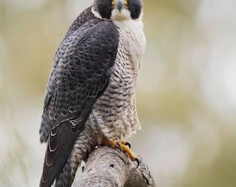 Peregrine Falcon, bird photo, raptor, bird of prey, wildlife photography