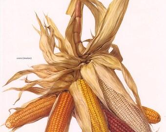 Set of 2 Vintage Vegetable Prints Corn Maize 1970s Illustrated Color Plates Book Pages