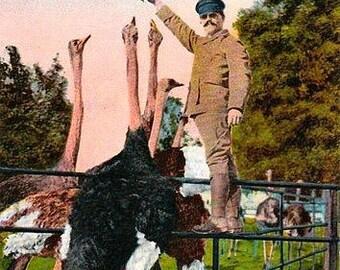 Antique California Postcard - Feeding Oranges to Ostriches at Cawston Ostrich Farm (Unused)