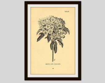 "Antique Flower Illustration, 5"" x 7.75"", Botanical Print, Floral Art, Cottage Decor, Wildflower, Gardener Gift, Mountain Laurel (45)"