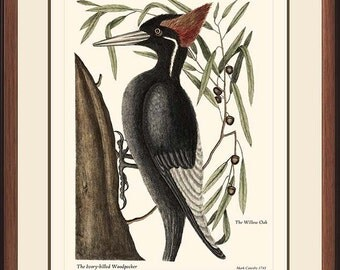 IVORY-BILLED WOODPECKER - Vintage Catesby Woodpecker reproduction 61