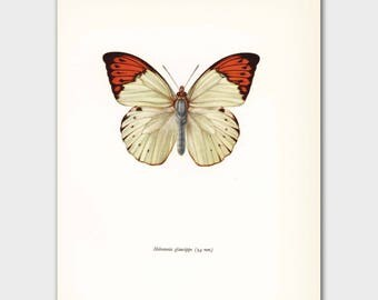 """White Butterfly Art (Cottage Chic Decor, Orange Bedroom Wall Art) Vintage Butterfly Print --- """"Great Orange Tip"""" No. 96-1"""