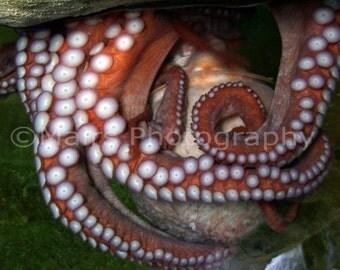 Nursery Decor, Brown Orange Marine Giant Pacific Octopus, Aquarium Photography, Fine Art Photography matted & signed 5x7 Original Photograph