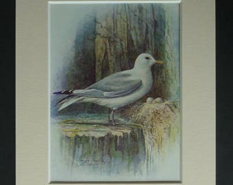 1950s Vintage Kittiwake Print by George Rankin, Available Framed, Bird Egg Art, Old Ornithology Picture, Seabird Decor, Seagull Illustration
