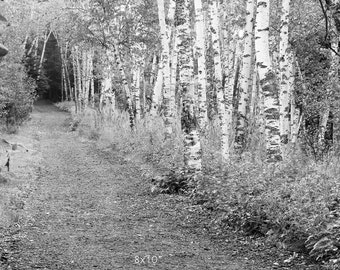 Birch Trees photography, black and white art, photo print, Forest woods picture, large paper canvas wall decor 8x10 11x14 16x20 20x30 24x36