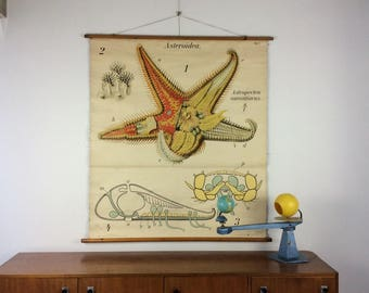 Fabulous old wall chart from Pfurtscheller: Starfish