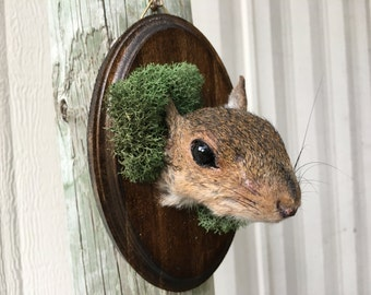 Squirrel Head Mount 010- Dark Wood Mossy Plaque - Real Taxidermy