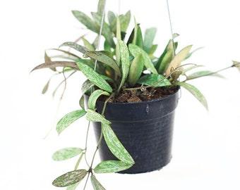 Hoya pubicalyx aka Hoya Hawaii by Joinflower Joinfolia