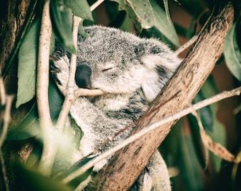 Koala Joey in Eucalyptus Dreams