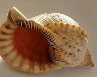 Triton Conch Shell Decorative
