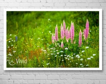 Pink flower photography, Lupins, pink and green, wall art, framed flower prints, large print, Lupinus, landscape photo, green home decor