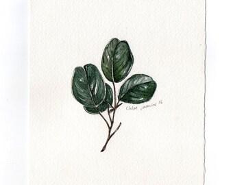 Original Watercolour painting - Botanical Illustration- Indian Kino Leaf