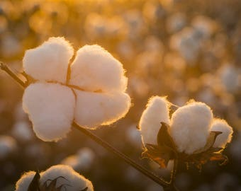 Pure White Cotton Seed