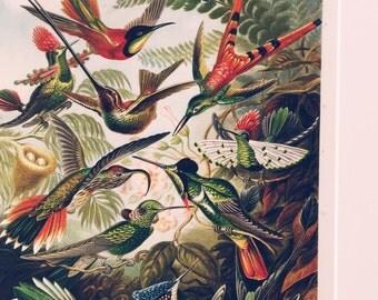 Ernst Haeckel Hummingbird Poster - Vintage Bird Art Print - Vintage Hummingbird Print - Museum Quality