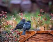 Black Bird Print, Cowbird Photograph, Wildlife Photography, Rainy Day Print, Winter berries, Rose hips, Beautiful Bird Print, Bird Lover Art