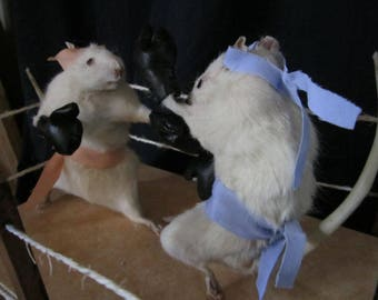 Player rat taxidermy boxing taxidermy rat curiosity oditties