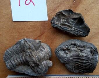 1 Trilobite Fossil