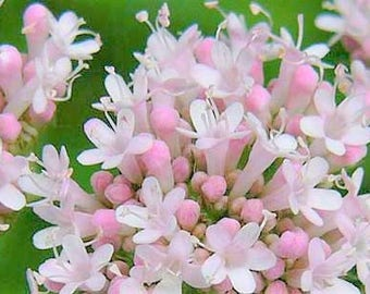 Live Valerian Plant - (Valeriana officinalis) 2 Year Old , Flowering, 1 Gallon, Live Plant, Herb, Medicinal, Insomnia, Flowers, fragrant