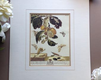 """Vintage Moses Harris Matted Print of the """"Yellow Tussock , The Grey Dagger, The Argent and Sable"""" Plate 15 from THE AURELIAN Book"""