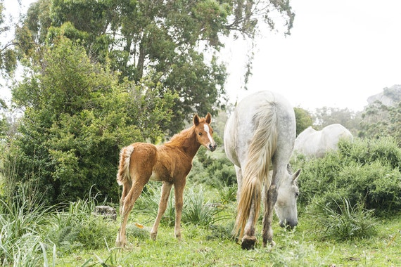 BROWN FOAL CURIOSITY. Equine Print, Cute Foal, Andalucia, Spanish horses, Photographic Print
