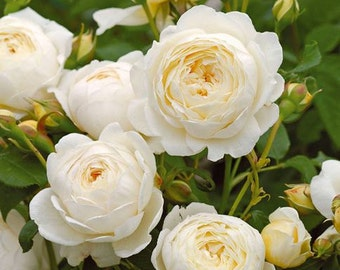 Claire Austin Rare White Shrub Rose Flower Seeds Professional Pack 50 Seeds  Pack Large Fragrant Elegant Flowers