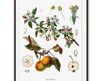 Apple Botanical Print Medicinal Plant Antique Natural Science History Medical Herbal Homeopathic Remedy Drug Nature Study Engraving az 269