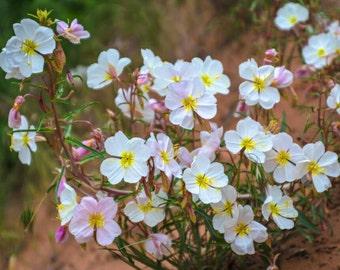 Evening Primrose 'Innocence' Seeds / Oenothera pallida / Fragrant Night boomer