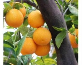 Orange Tree - 5 x 5 print - Nature Photography