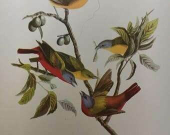 """Vintage Audubon Print, """"Painted Bunting"""""""