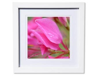 Pink Petals with Raindrops Photo Print or Canvas