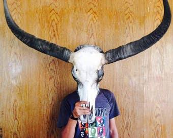 BUFFALO Steer SKULL Long HORNS Mounted 4' Feet Cow Bull taxidermy Longhorn