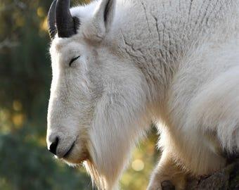 Mountain Goat Zen