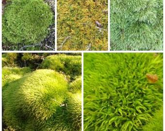 20 square feet of moss mixed varieties mound,fern,carpet instant greenery, moss garden, fairy garden