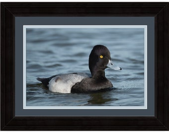 Bluebill Duck Framed Print
