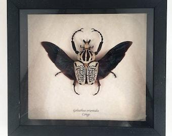 Real beetle framed - Goliathus orientalis