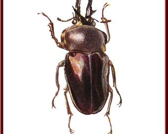 Beetle Print, Muller's Phalacrognathus, Insect art, Insect Print, Beetle art, Vintage inspired, Encyclopedia Print, Unusual print, art