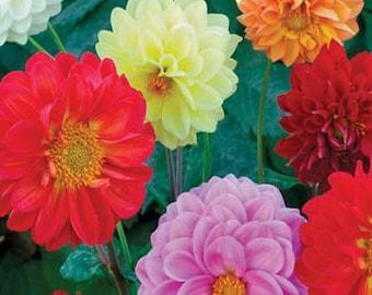 25+ DAHLIA OPERA MIX Series / Flower Seeds - Perennial / Attracts Hummingbirds