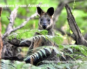 Swamp Wallaby Postcard