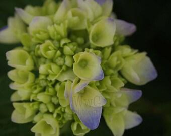 Blooming Hydrangea