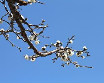 White Cherry Blossom, Photograph Print Flower  Tree Branches Spring Peaceful Zen blue sky ikebana