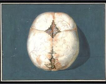 SKULL PRINT anatomy print anatomy art vintage anatomy print antique skull print anatomy print giclee