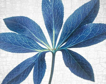 Vivid Blue Hellebore Leaf - Signed Fine Art Photograph, Botanical Print, Plant Decor for Nature Lovers