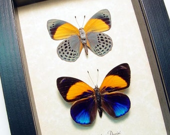 Real Framed Callithea Davisi Blue & Orange Butterfly Pair 393P