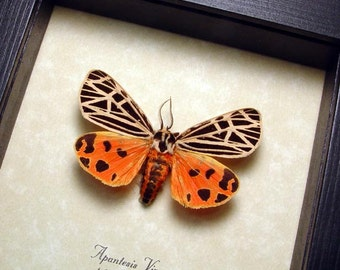 Real Framed Rare Apantesis Virgo The Virgin Tiger Moth 8462